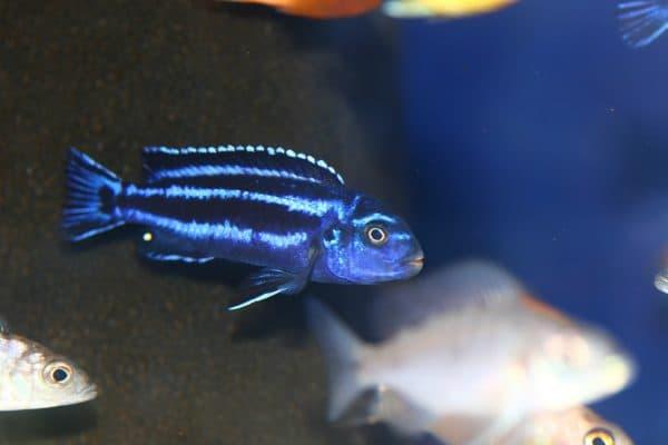 Меланохромис майнгано - удивительная рыбка в аквариуме