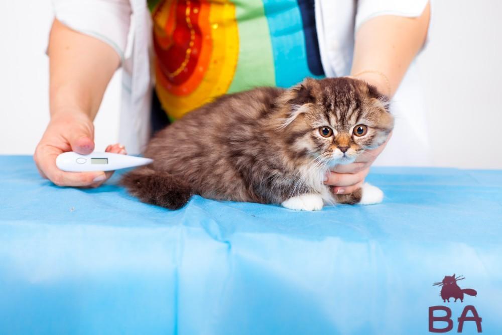 Оптимальная температура тела кошки. Как вылечить жар у кошки