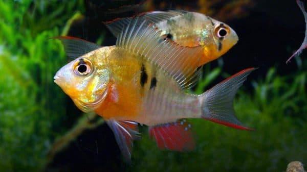 Бабочка боливийская - удивительная рыбка