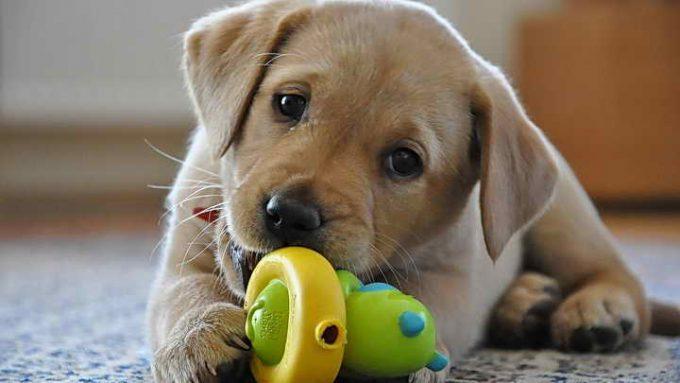 щенок лабрадора играет