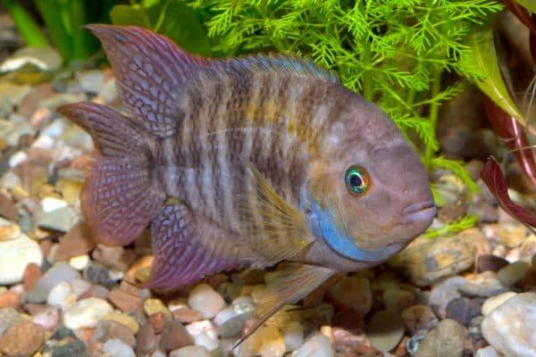 Цихлазома Седжика - рыбка в аквариуме