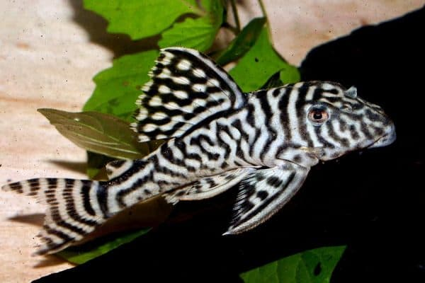 Гипанциструс - красивый сомик в аквариуме