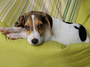 вирусный гепатит у собак