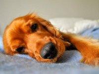 бронхит у собак