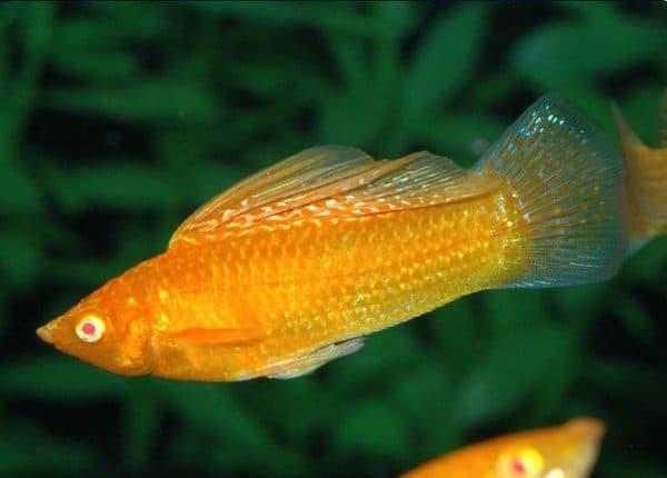 Моллинезия велифера - прекрасная рыбка в аквариуме