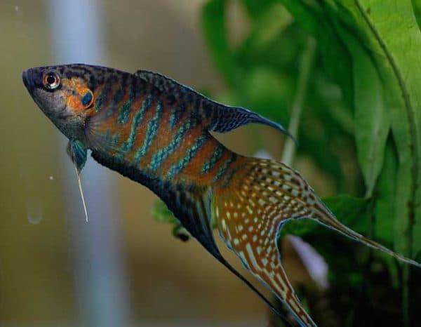 Макропод рыбка описание