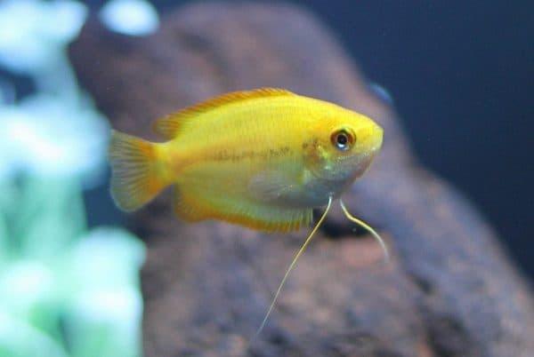 Гурами медовый - прекрасная рыбка в аквариуме
