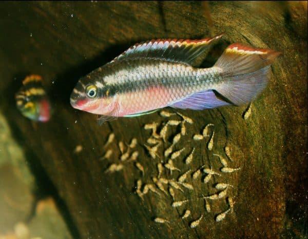 Пельвикахромис пульхер - красивая рыбка в аквариуме
