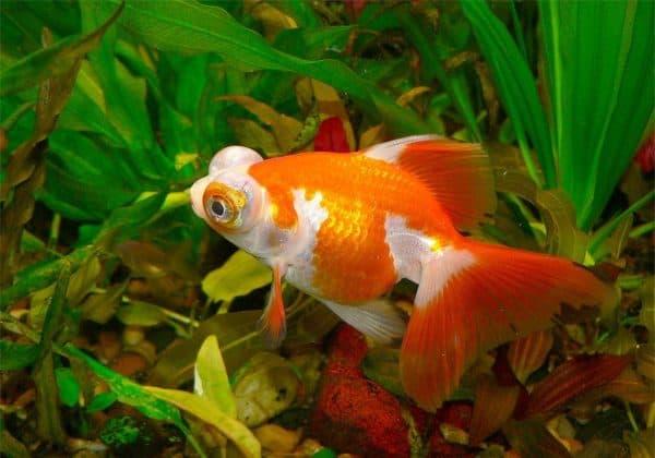 Рыбка телескоп красно-белая