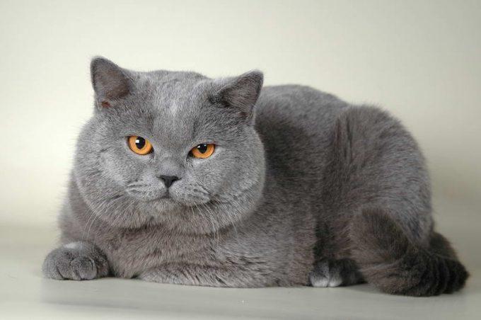 чем отличается британская кошка от шотландской