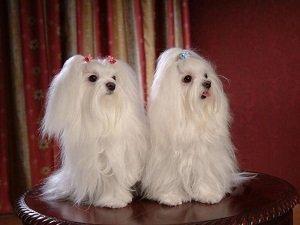 белые маленькие собаки порода