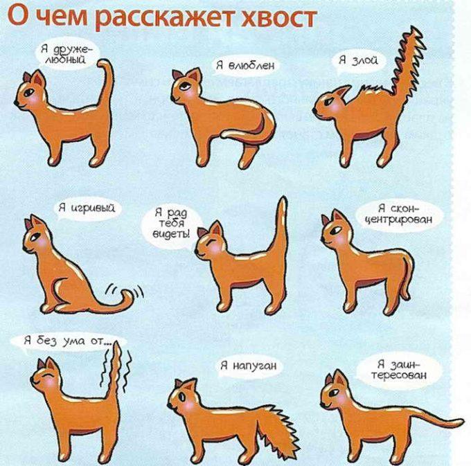 о чем говорит хвост кота