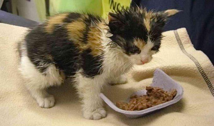 как лечить чумку у кошки