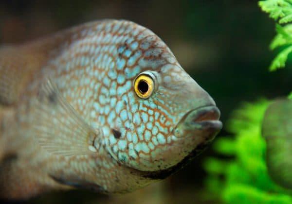 Бриллиантовая цихлазома в аквариуме