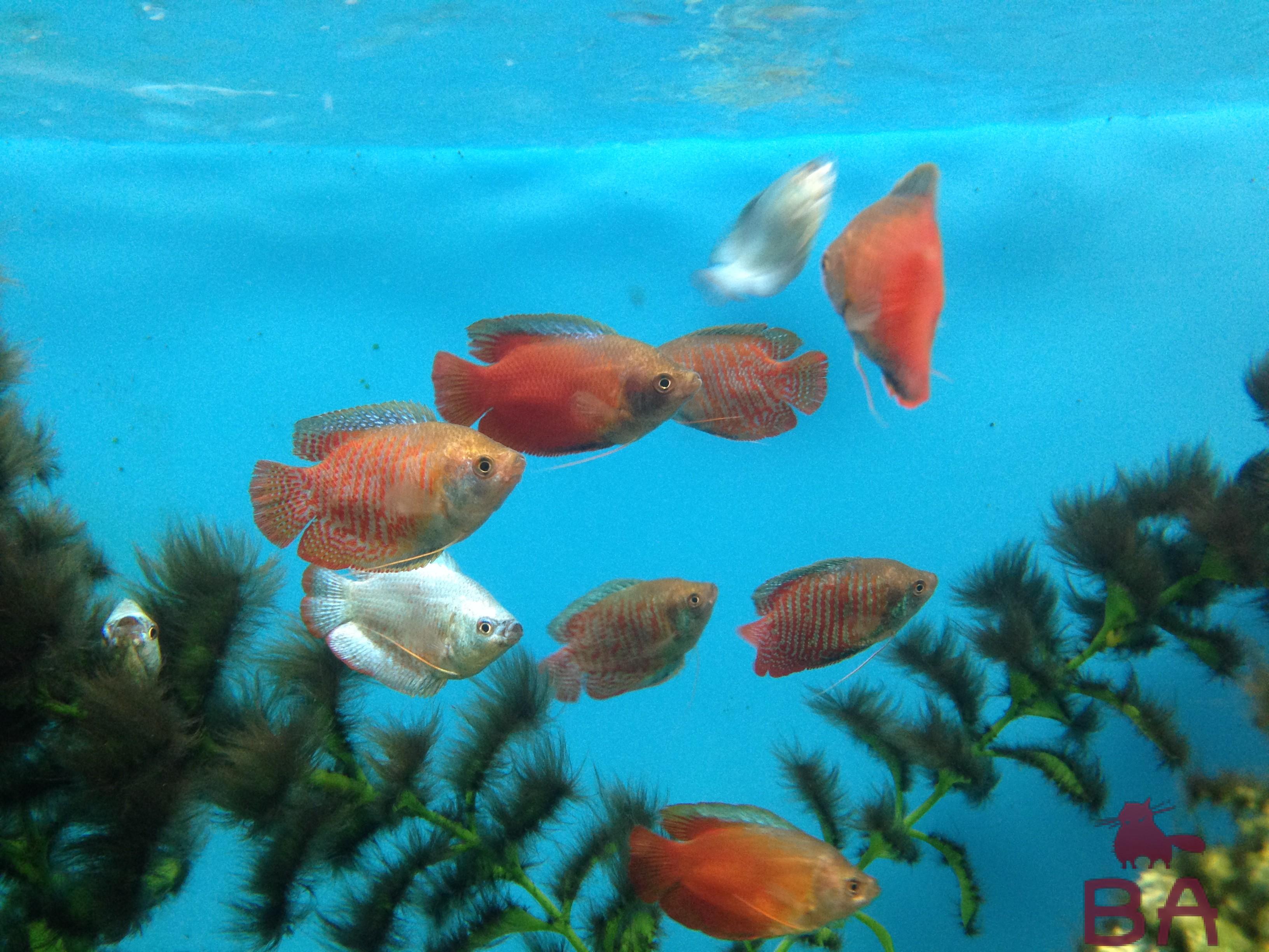Рыбки лялиусы описание, содержание, разведение и стоимость