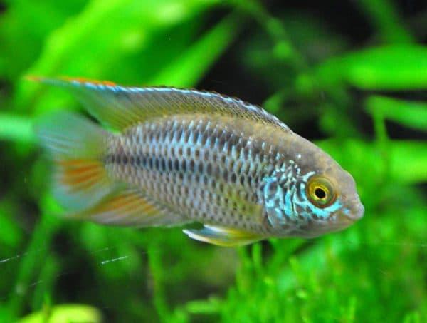 Наннакары аномала красивая рыбка
