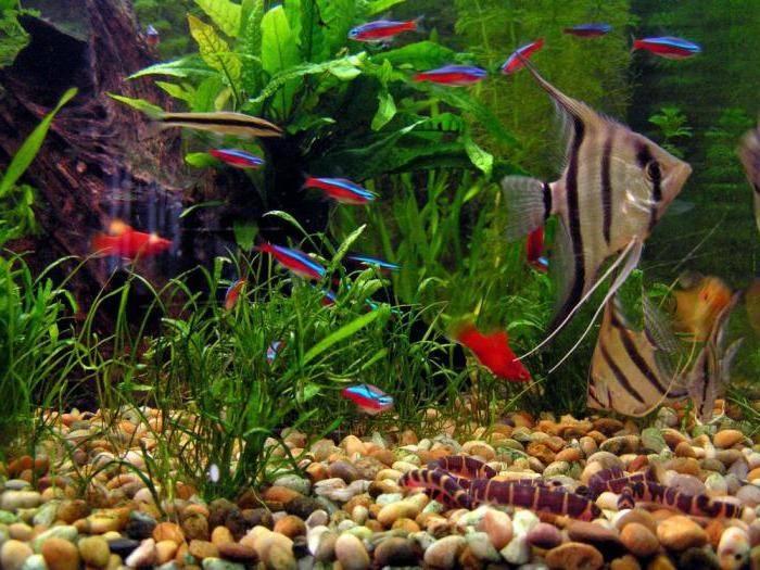 Рыбки петушки совместимость