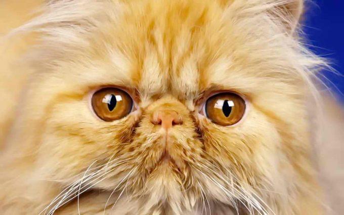 красивые глазки персов
