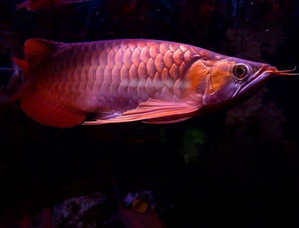 Арована рыбка красивая