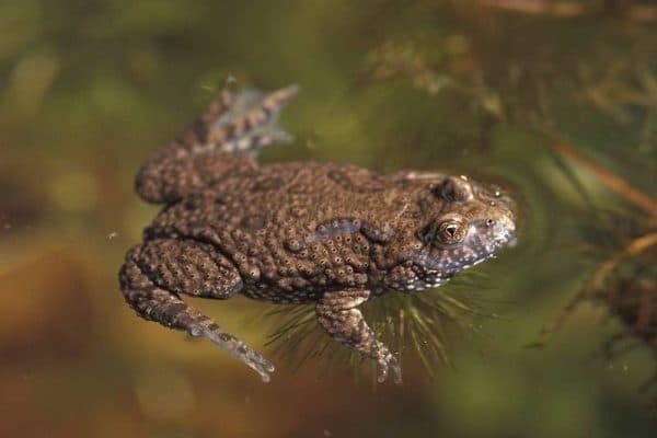 Краснобрюхая жерлянка - удивительная лягушка