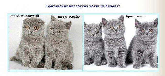 отличия британских кошек от шотландских