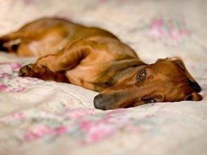бывает ли у собак токсикоз