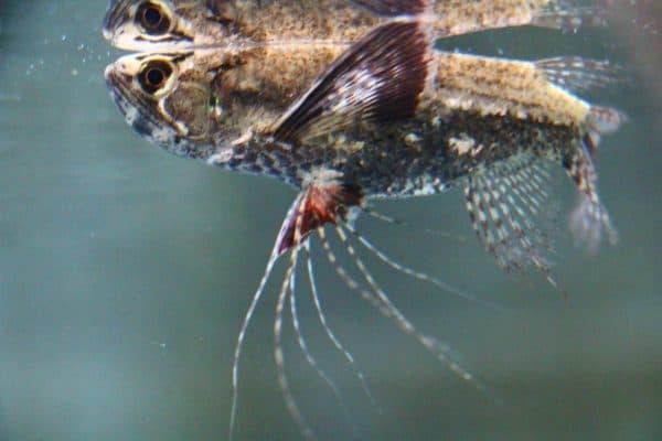 Пантодон аквариумная