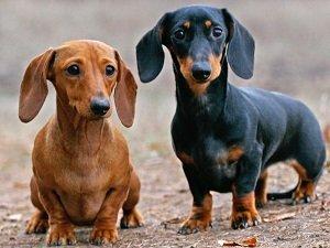 маленькие породы собак недорогие