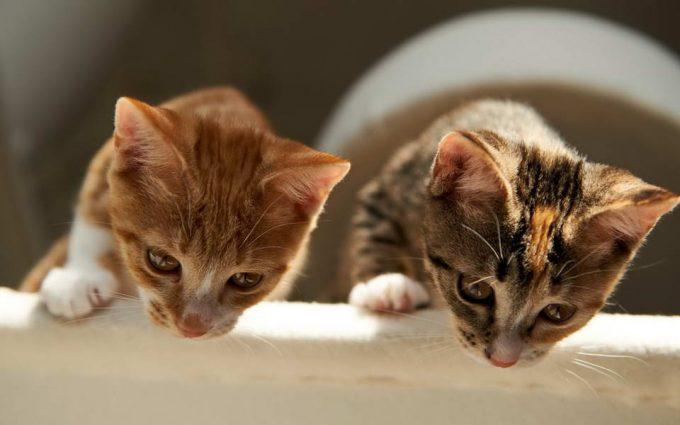 плюсы и минусы проживания двух кошек на одной территории