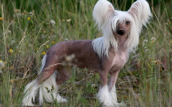голая хохлатая собака