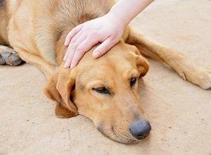 питание собаки при болезни печени