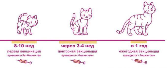схема вакцинации котят