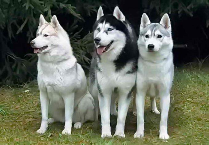 правильно поставленные уши собакам
