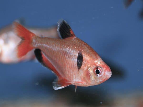 Серпас - прекрасная рыбка