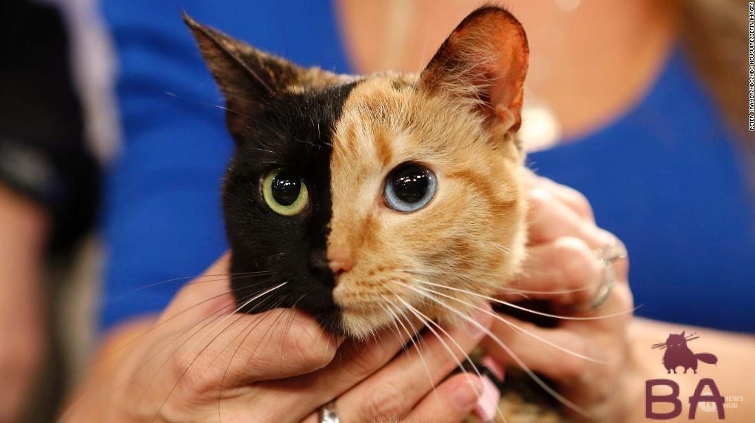 Генетика окраса кошки