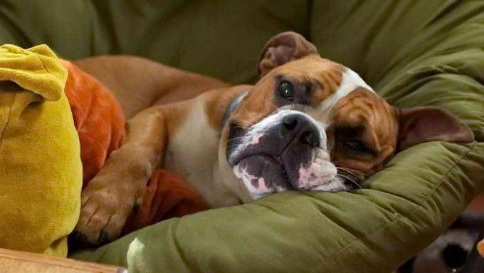 у собаки конвульсии, судороги