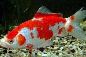 Описание рыбки и где встречаются рыбы Карп кои?