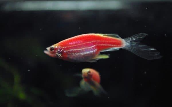 Данио розовый - удивительная рыбка