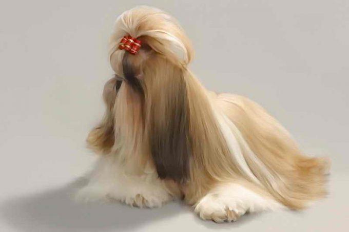ухоженная порода собак ши-тцу