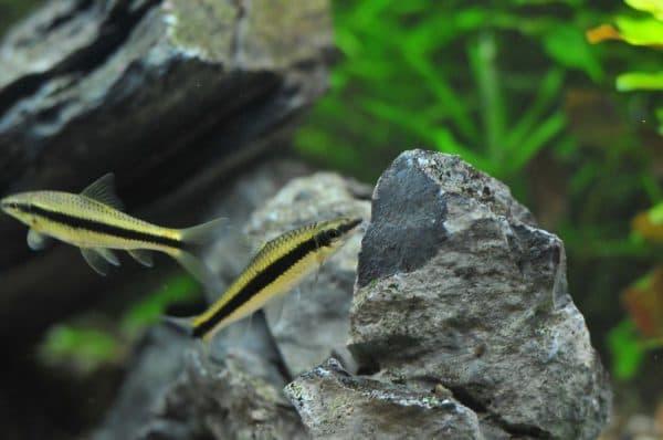 Сиамский водорослеед плавает