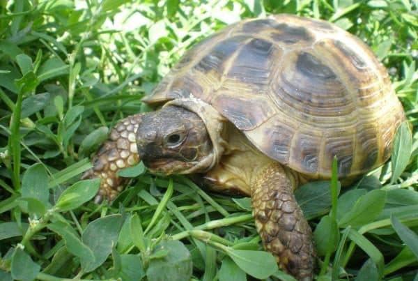 Среднеазиатская сухопутная черепаха фото