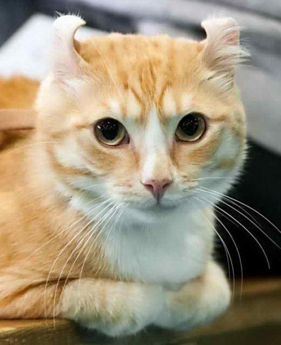 закрученные ушки кота керла