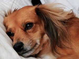 у собаки озноб и вялость