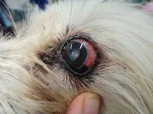 глаукома у собаки фото