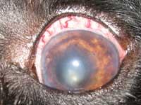 у собаки красный белок глаза