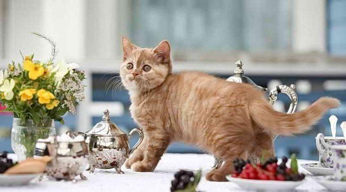 кот лазит по столу