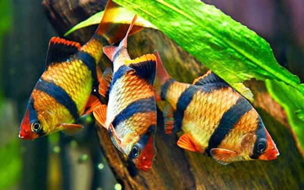 Фото барбус суматранский