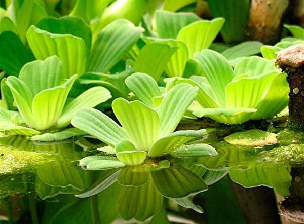 Пистия - красивое растение