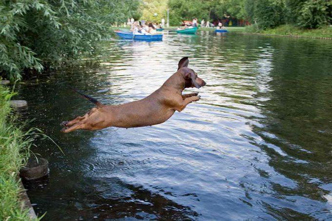 такса плавает