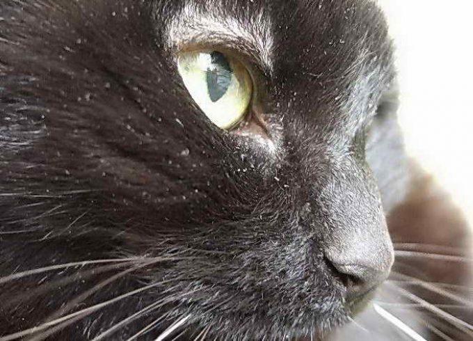 почему перхоть у кошки